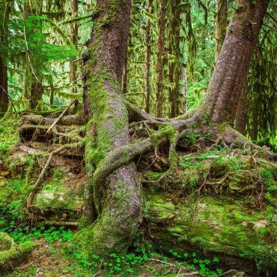 Hoh rain forest crackerclips stock media ysp5eq