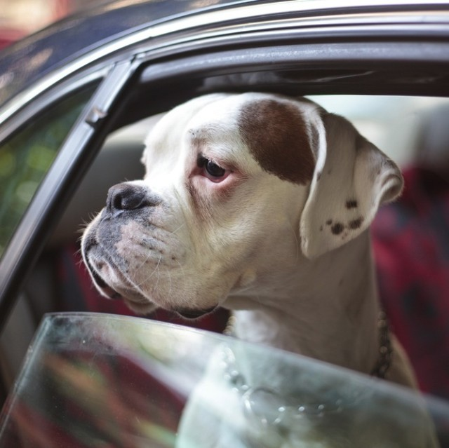 Dog in car aerogondo2 lhxoq1