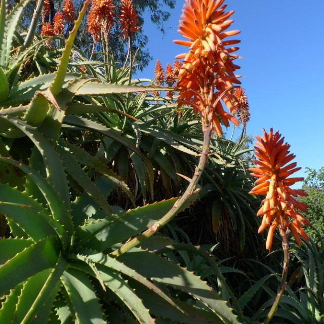 Orange aloe flowers zilrog