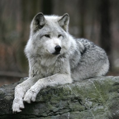 6 13 male gray wolf dennis donohue y0qfyt