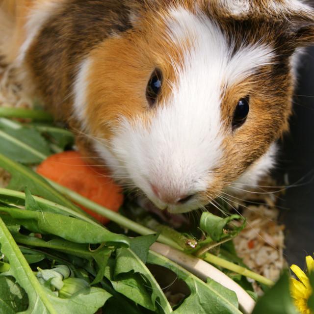 4 13 guinea pig kvosnp