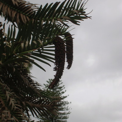 Wollemi pine ausifb