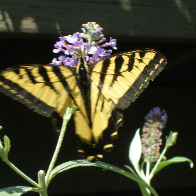Swallowtail on buddleia hnz7md