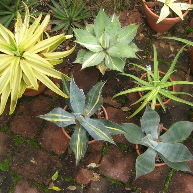 Yuccas tfop0a