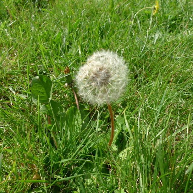 Dandelion zretre