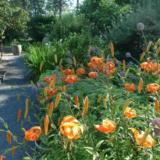 Neil norm tiger lilies h5attk