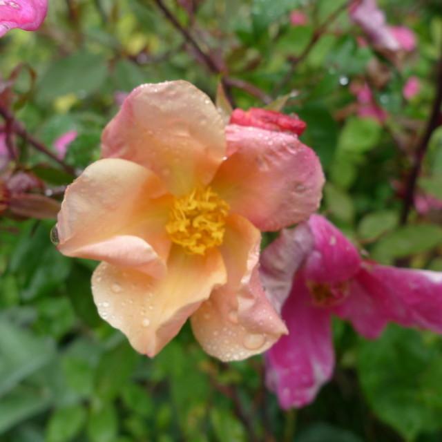 Rosaxodorata ts6qpp
