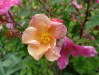 rosa x odorata mutabilis