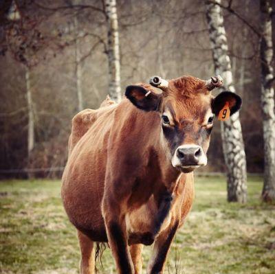 Cow l1a9le