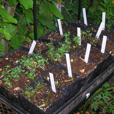 Seed flats  sprouted efapl7