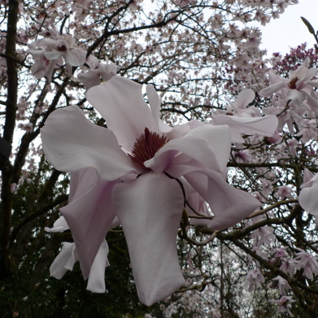 Magnolia sargentiana var rubra jpg hkks67