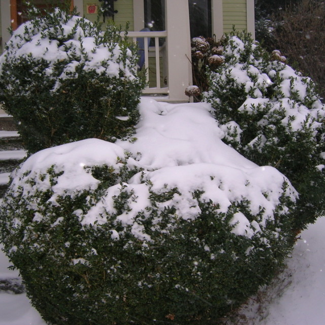 Chicken topiary in snow qff2ip