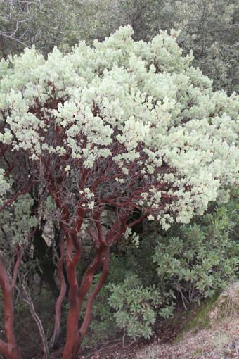 manzanita, arctostaphylos manzanita ssp glaucescens