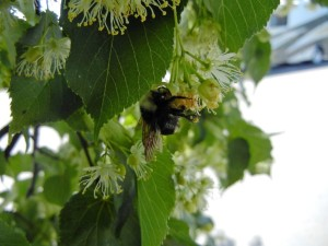 bumblebee on linden tree