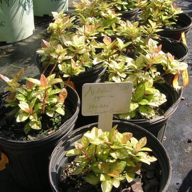 Ardisia japonica  houkan  xncx3e