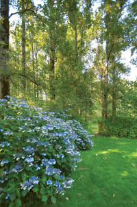 Shire blue hydrangeas