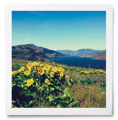Balsamroot blooms at the top of Mosier Plateau.