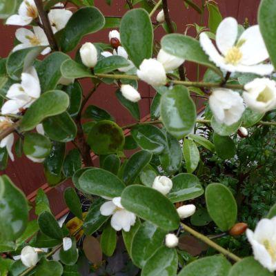 Magnolialaevifolia h7lu6s