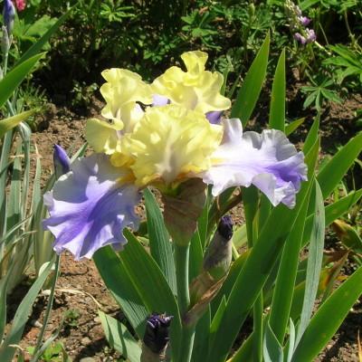 Iris 2 edith wolfort wlhzib