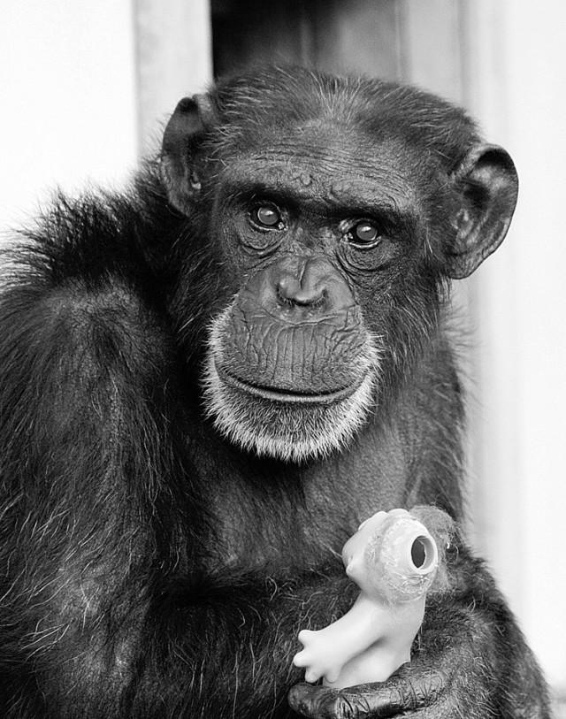 All Photographs Courtesy Chimpanzee Sanctuary Northwest: Chimp Full Sheet Set At Alzheimers-prions.com