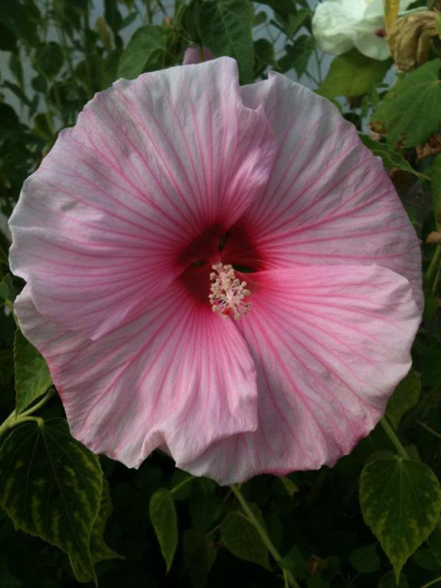 Rose Mallow Hardy Hibiscus For Tropicalesque Portland Gardens