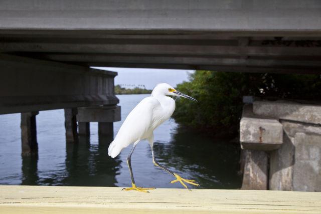 White ibis pn5l4q