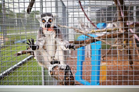 Lemurs2 e13nav