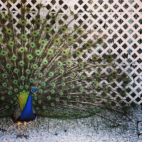 Peacock small coho9m