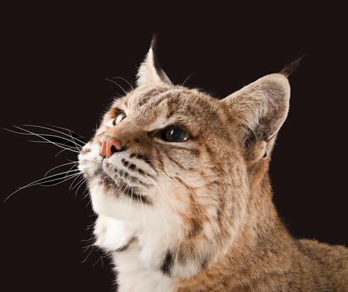Photoark bobcat rvjzhn