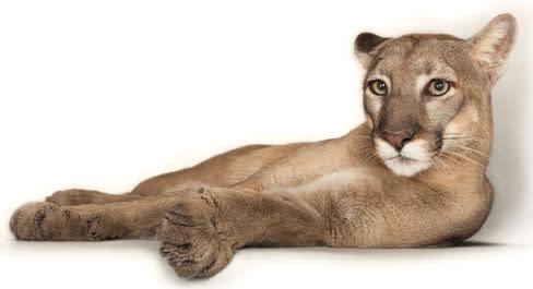 Photoark panther vaqecr