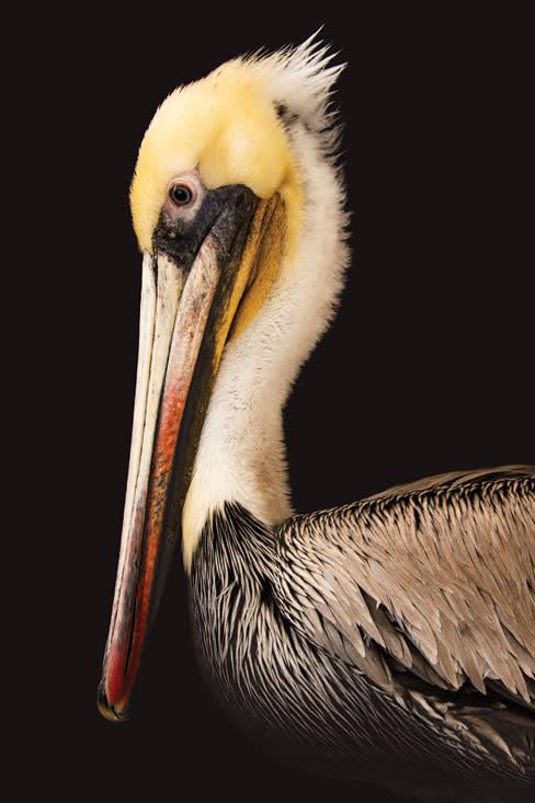 Photoark pelican gcbxhz
