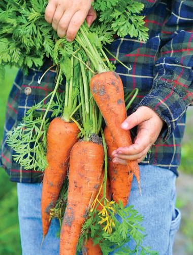 Sweet carrots ujvzws