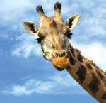 Giraff xzwr8b