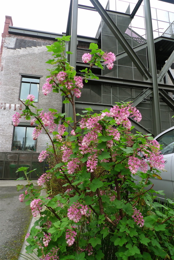 Red flowering currant portland monthly mightylinksfo