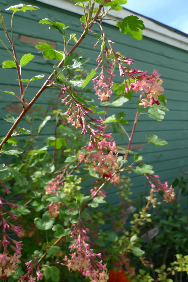 Red flowering currant portland monthly ribes x gordonianum a hybrid between r sanguineum and r odoratum the golden currant lends the soft yellow apricot color to the blossoms mightylinksfo