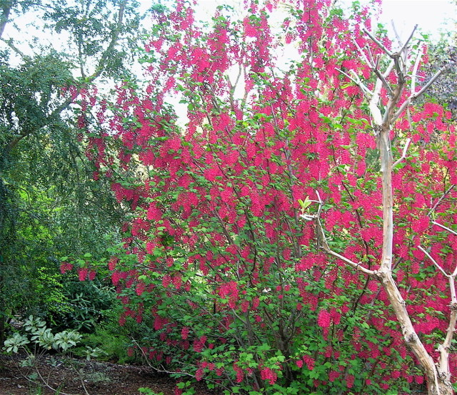 Red Flowering Currant Portland Monthly