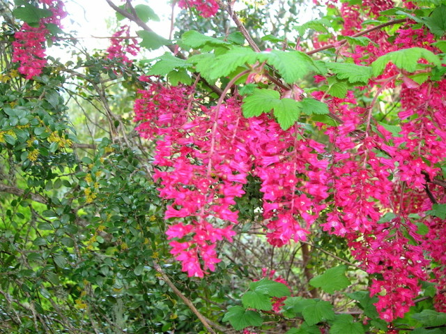 Red flowering currant portland monthly red flowering currant mightylinksfo