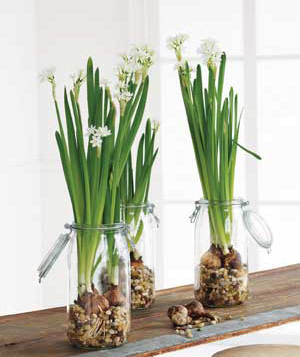 Paperwhites by thanksgiving portland monthly paperwhites in canning jars with pebbles image courtesy of realsimple mightylinksfo