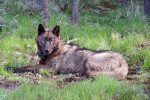 Thumbnail for - Is the Slow Comeback of the Oregon Wolf Now in Jeopardy?