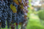 Thumbnail for - The Science of Oregon Wine
