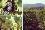Thumbnail for - Oregon Winemakers and Growers Report on 2014 Season