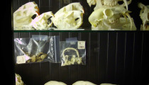 Thumbnail for - Paxton Gate's Bizarre Menagerie of Skulls, Oddities, and...Raccoon Penis?