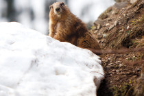 Thumbnail for - Insider's Guide to Olympic National Park: The Marmot Brigade