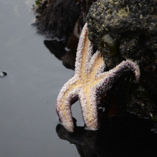Thumbnail for - Slide Show: What's Killing the Oregon Sea Star?