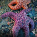 Thumbnail for - What's Killing the Oregon Sea Star?