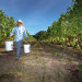 Thumbnail for - Slide Show: Behind the Scenes of Wine Country's Harvest Season