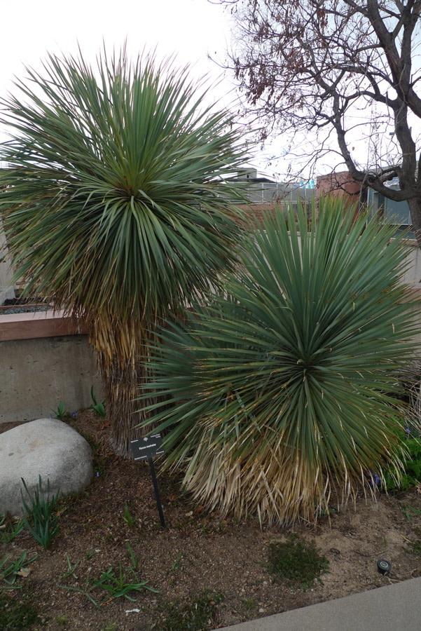 yucca rostrata denver bot garden