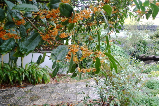 The sweet sweet scent of autumn at lan su portland monthly for Osmanthus fragrans aurantiacus