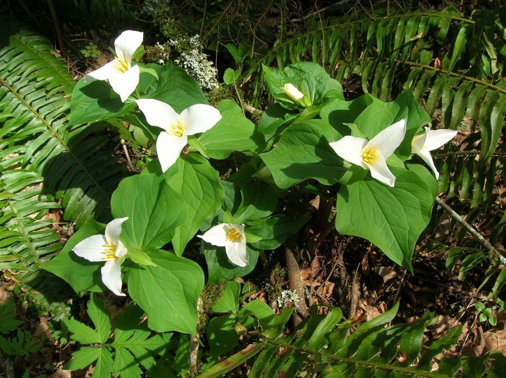 Trillium Ovatum Sale Trillium Ovatum Native Plant