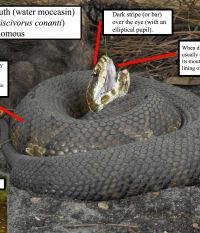 Venomous Snakes in Southwest Florida